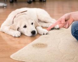 Методы борьбы с запахом собачьей мочи в квартирных условиях