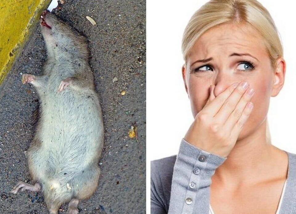 Сдохла мышь под полом, как избавиться от запаха
